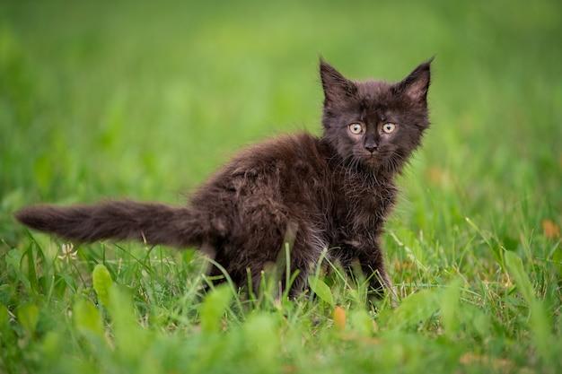 작은 장난기 많은 검은 메인 쿤 고양이가 푸른 잔디 위를 걷습니다.