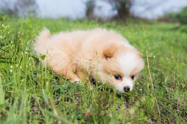 Little pomeranian on the grass.