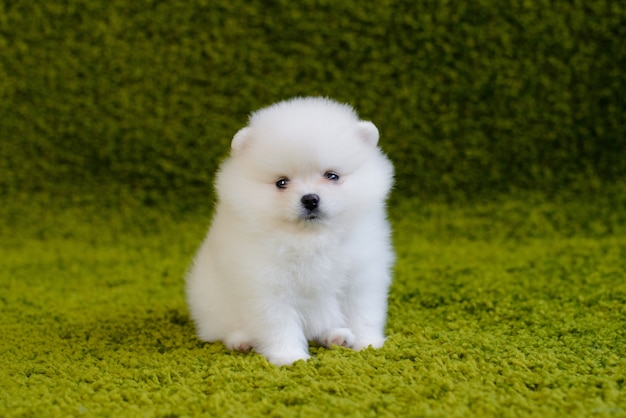Little pomeranian spitz-dog puppy. it can be used as a background