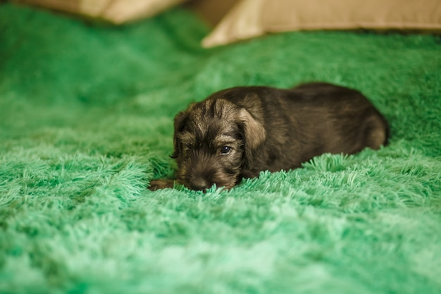 A little puppy of breed schnauzer sits in a room on the bed