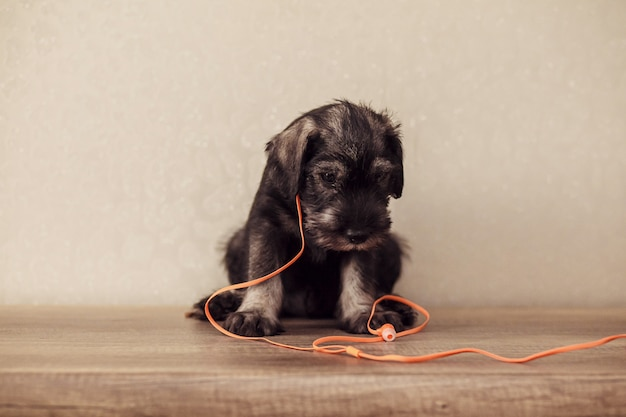 A little puppy of breed schnauzer sits on a table with orange headphones