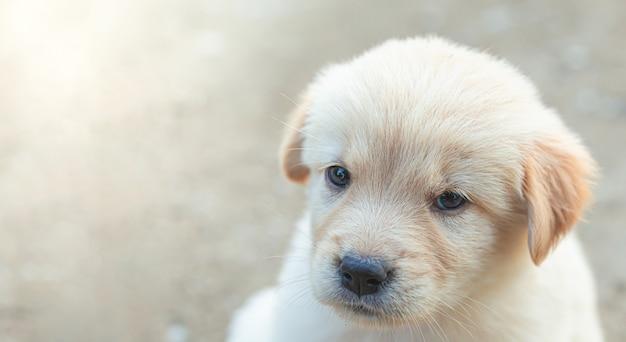 Маленький щенок золотистого ретривера