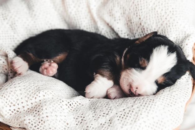 Bernese mountain dog 침대에서 작은 강아지. 귀여운 동물