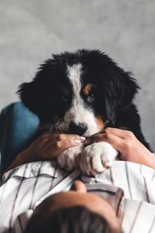 좋은 매니큐어와 유행 여자의 손에 bernese 산 강아지의 작은 강아지. 동물, 패션