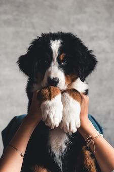 좋은 매니큐어와 유행 여자의 손에 bernese 산 강아지의 작은 강아지.