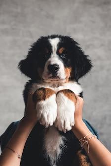 Маленький щенок бернского зенненхунда на руках модной девушки с красивым маникюром.