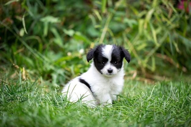 Маленький щенок породы папильон на траве в саду