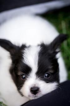 Маленький щенок породы папильон играет на траве в саду