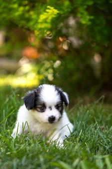 작은 강아지 빠삐용 품종은 정원의 잔디에서 놀고 있습니다.
