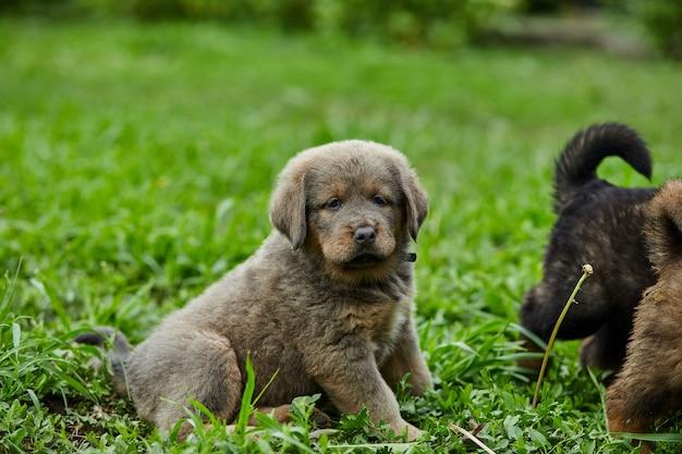 작은 강아지 뉴펀들랜드는 뛰어다니며 야외 푸른 잔디에서 여름 공원에서 놀고 있습니다.
