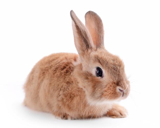Маленький кролик, изолированные на белом фоне