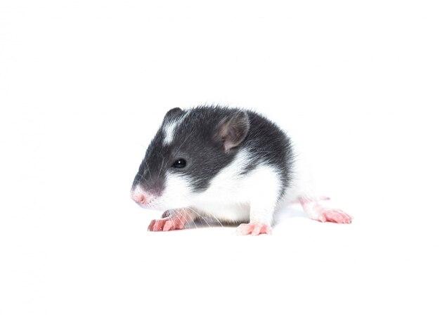 Маленькая крыса на белом фоне
