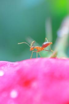 아침에 배경이 흐릿한 꽃잎에 작은 빨간 개미