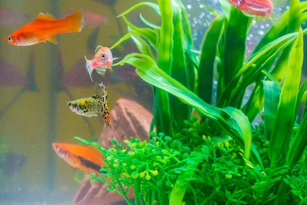 Little red fish with green plant in fish tank or aquarium