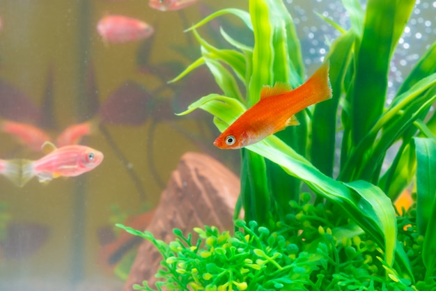 Little red fish with green plant in fish tank aquarium