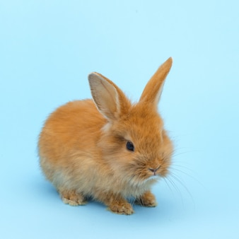 Little red fluffy rabbit on blue surface. easter holiday concept