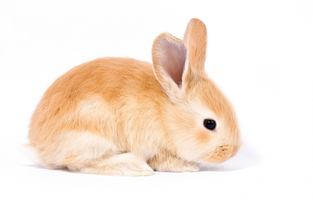 Little red fluffy rabbit, isolate, easter bunny