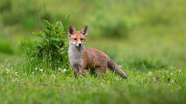 Маленький рыжий детеныш лисы, глядя на зеленую поляну весной.