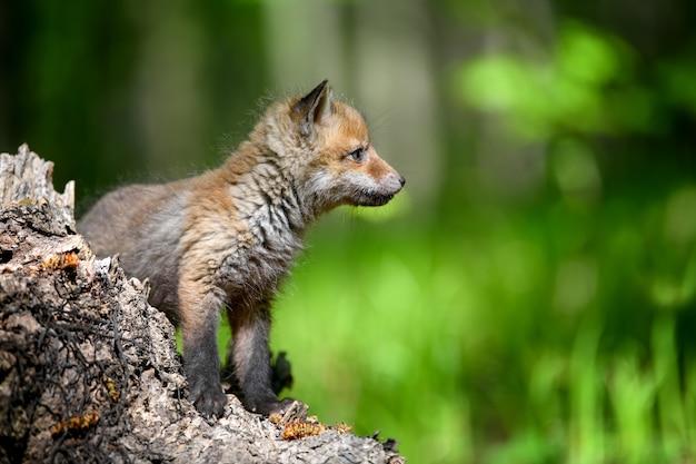 Маленькая рыжая лисица в лесу на пне