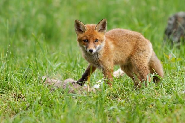 Маленькая рыжая лисица смотрит в камеру на лугах летом