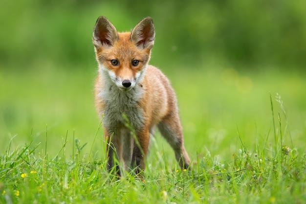 Маленькая рыжая лисица смотрит на поляну в летнем солнечном свете