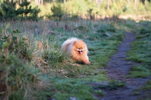 작고 우스꽝스러운 솜털 강아지 포메라니안이 길의 풀밭에서 뛰쳐나옵니다.