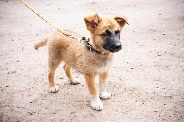 ひもにつないで歩く小さな赤毛の子犬