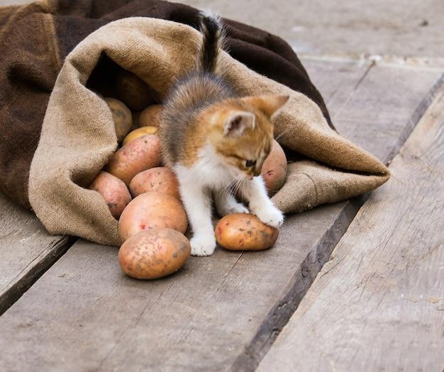 Маленький рыжий котенок играет со свежесобранным картофелем на грубой деревянной палитре.