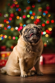 Little red pekingese dog with christmas lights at cozy home. new year santa dog.