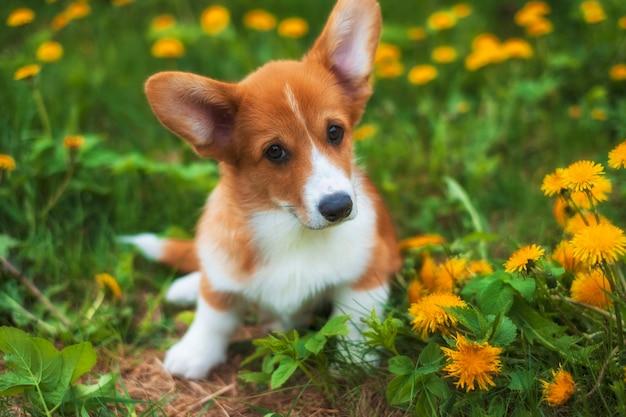 Little red puppy welsh corgi pembroke in a dandelion field in summer