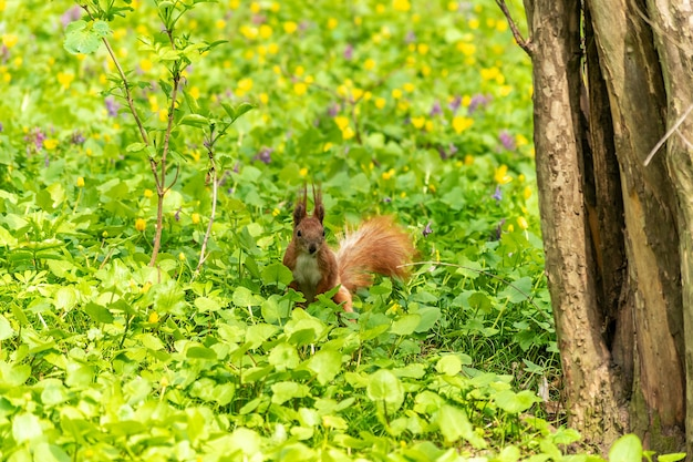 Little red squirrel in the grass in the park.