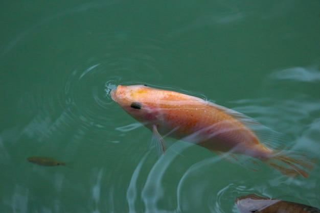 A little red tilapia fish breathing on the top of pond surface water.