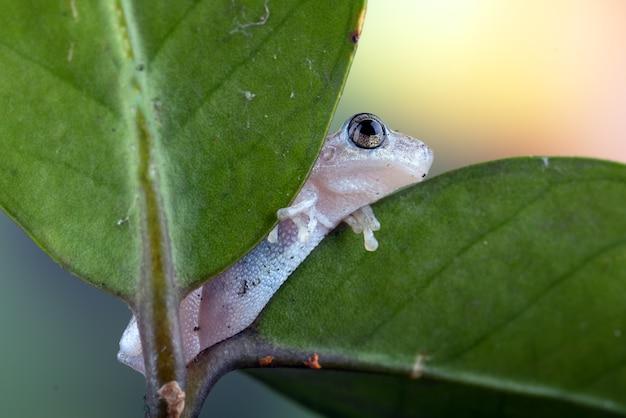 Маленькая красная древесная лягушка сидела на листе