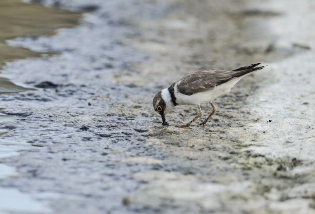 Little ringed plover charadius dubius