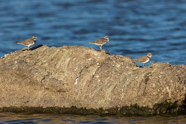川の真ん中にある岩の上の小さな環状千鳥