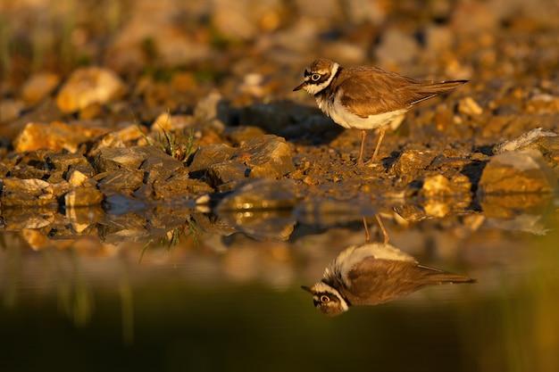 Маленький кольчатый зуек стоит на берегу реки осенью