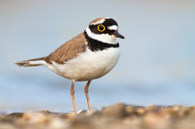 Little ringed plover standing on riverbank in spring