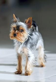 カメラに向かって見て少し悲しいヨークシャーの子犬