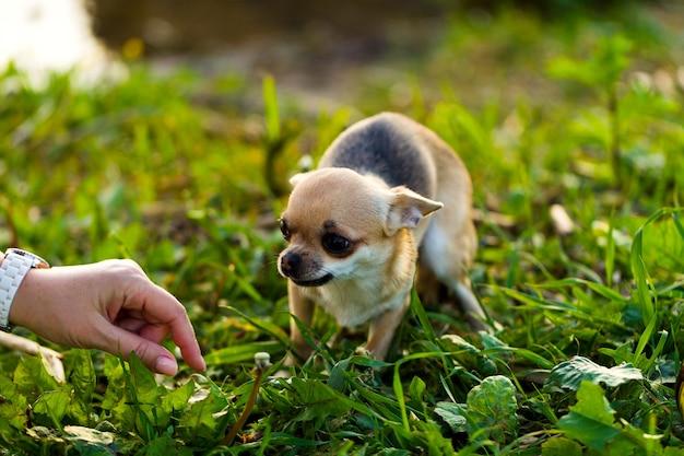 푸른 잔디의 배경에 약간 무서 워 치와와 강아지