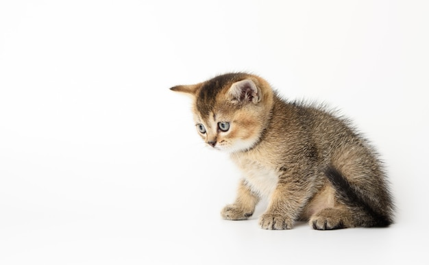 Little scottish straight kitten sits sideways on a white surface, chinchilla cat