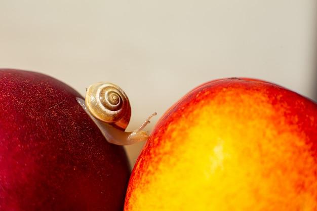 熟した赤いネクタリンの上を這う小さなカタツムリ。