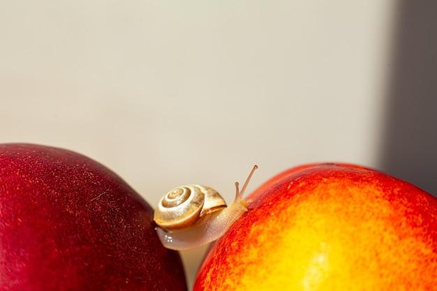 熟した赤いネクタリンを這う小さなカタツムリ。