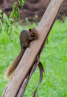 Little squirrel eating food on a branch