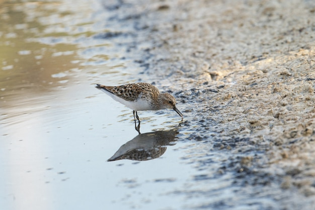 Little stint, calidris minuta, erolia minuta