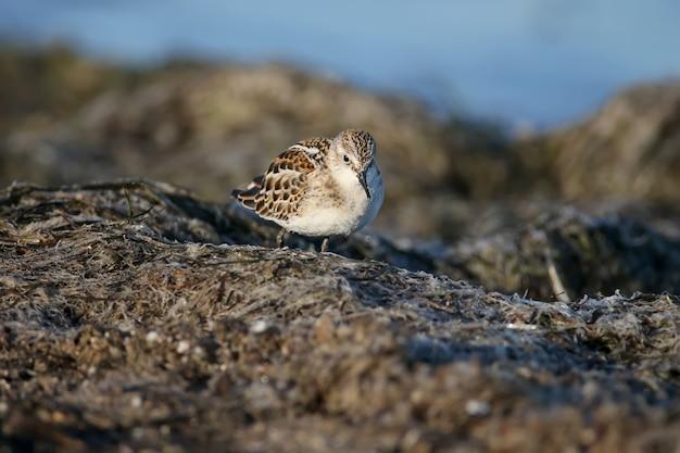 Little stint (calidris minuta) photographed close-up feeding on coastal sand in soft morning light