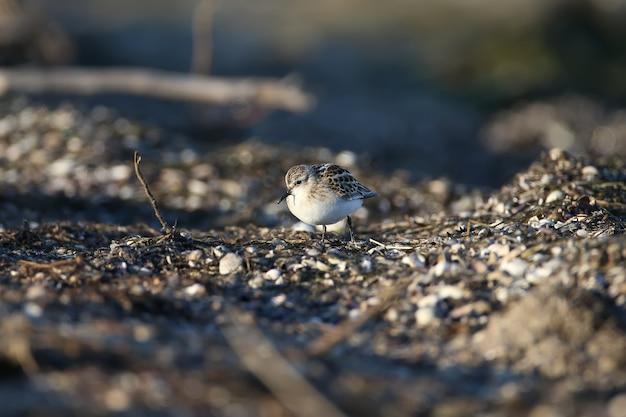 Малыш (calidris minuta) сфотографировал кормление крупным планом на прибрежном песке в мягком утреннем свете.