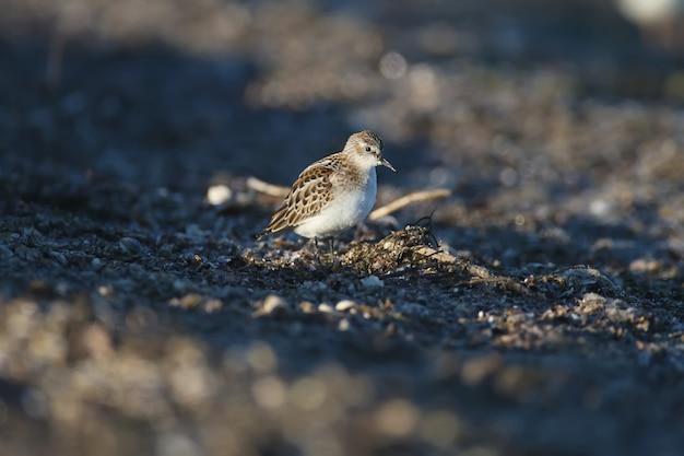 작은 제한(calidris minuta)은 부드러운 아침 햇살 아래 해안 모래를 가까이서 먹는 사진을 촬영했습니다.