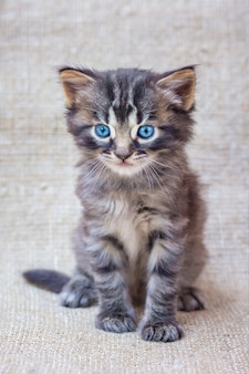 Little striped kitten with blue eyes on a neutral, homogeneous background of rough fabric_