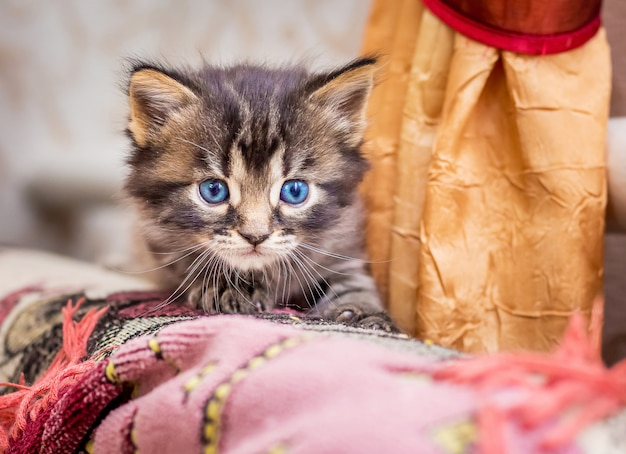 Little striped kitty looks from hideout during  game. attractive kitten with blue eyes close-up