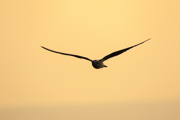 Little tern is flying, little tern is a small seabird. , scientific name sternula albifrons, little tern is a species of sea birds.